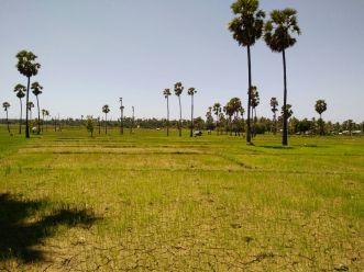 Tanaman padi yang terancam gagal panen akibat pekerjaan selokan